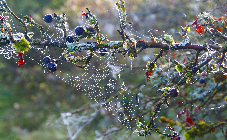 Spinnennetz an einem Ast mit blauen Beeren in Münsingen.