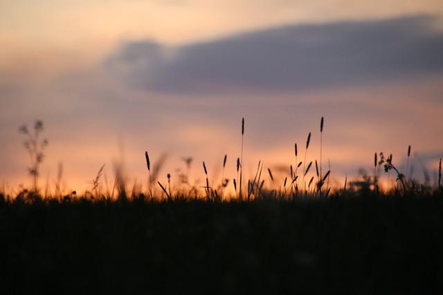 Eine Wiese im Sonnenuntergang. Das Gras ist nur eine schwarze Silhouette, einige hohe Gräser stechen hervor.