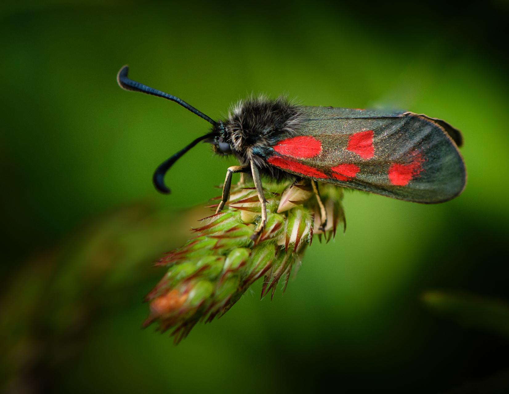 Ein Sechsfleck-Widderchen (Insekt mit langen Fühlern und roten Punkten auf den Flügeln) auf einer Pflanze.