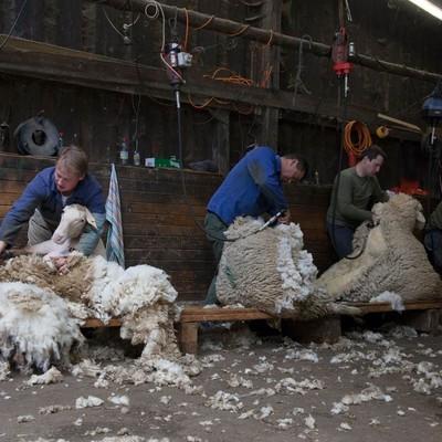 Vier Personen schren jeweils ein Schaf in einem Stall.