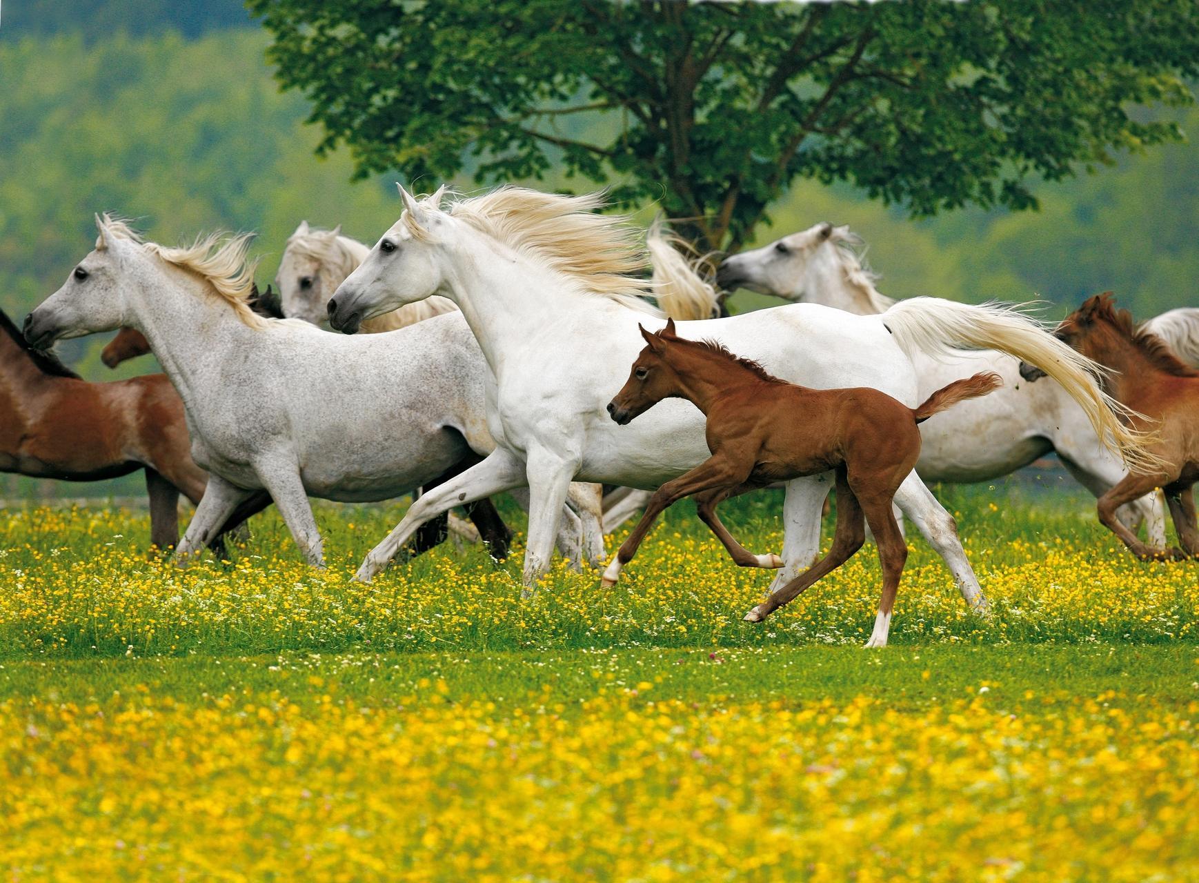 Mehrere weiße und braune Pferde und Fohlen gallopieren über eine gelbe Blumenwiese.