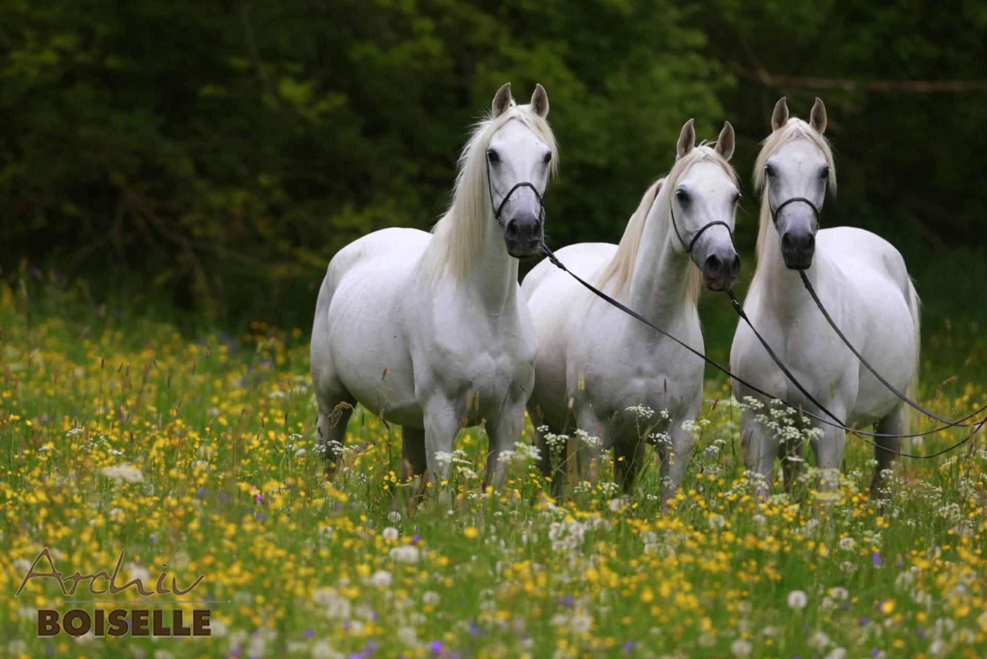 Drei weise Pferde stehen in einer hohen Blumenwiese und blicken in die Kamera. Sie tragen ein schwarzes Halfter mit einem ledernen Strick.
