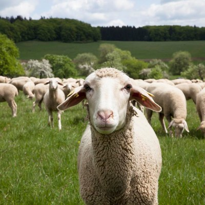 Ein Schaf steht auf der Weide und blickt in die Kamera. Im Hintergrund ist eine Schafherde.